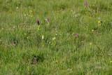 Gøgeurt Dactylorhiza