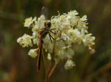 Sympetrum sanguineum - female Blodrød Hedelibel - hun