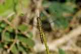 Orthetrum cancellatum -teneral female Black-tailed Skimmer Stor Blåpil - hun