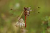 Sympetrum sanguineum - male Ruddy Darter Blodrød Hedelibel - han