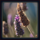 A Box Of Light - Transitional Late Afternoon Lavender Luminescence