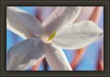 This Year's Winter Jasmine Bloom