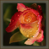 Wet Rose Bud In The Wind