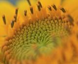 Sunflower spirals