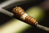 Black Swallowtail Lifecycle