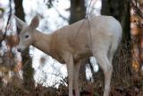 Doe fawn, not true Albino