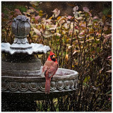 Cardinal on the Cusp of Winter-Shirley