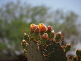 Cactus Flowers and Bee - Kevdog