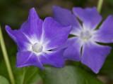 Purple Pair - Dave Gaines