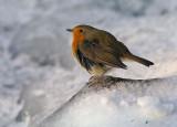 Robin - Fred