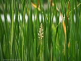 Quack Grass - Tom Frisch