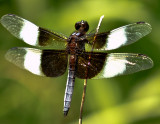dragonfly DOF -Tom Frisch