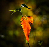 Autumn leaf by Dennis