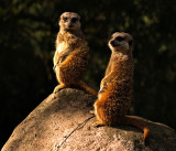 Pair of Meerkats by Dennis
