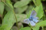 Bleu argenté - Glaucopsyche lygdamus couperi