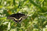 Papillon du celeri - Papilio polyxenes
