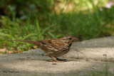 Bruant chanteur (Song Sparrow)