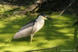 Bihoreau gris (Black-crowned Night-Heron)