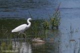 Aigrette garzette (Little Egret)