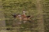 Canard branchu (Wood Duck)