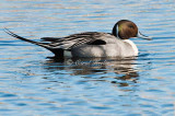 Mr. Pintail with his Glorious Tail
