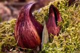 Skunk Cabbage Duo