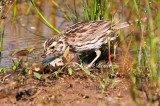 Savannah Sparrow Food Shopping