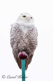 Snowy Owl on Tower