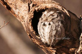 Screech Owl Sleeping