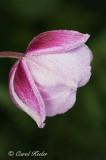 Dewy Fall Anemone
