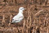 Juvenile Bonapartes Gull