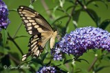 Giant Swallowtail Wings Up