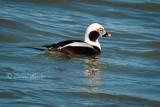 Male Long Tail Duck