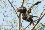 Young Bald Eagle Take-Off