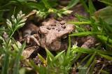 Hiding Baby Toad