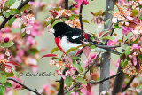 Grosbeak in Flowering Crabapple