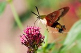 Snowberry Clearwing Hummingbird Moth