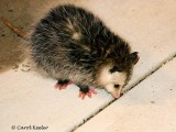 Young Opossum