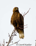 Gallery: Rough Legged Hawks