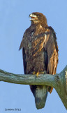 IMMATURE BALD EAGLE  (Haliaeetus leucocephalus)   IMG_0154