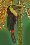 CHESTNUT-MANDIBLED TOUCAN (Ramphastos swainsonii)