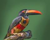 FIERY-BILLED ARACARI (Pteroglossus frantzii) IMG_0106