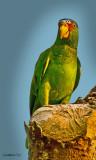 WHITE-FRONTED AMAZON  (Amazona albifrons)  IMG_3599