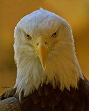 BALD EAGLE (Haliaeetus leucocephalus) IMG_0592