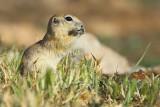 Asia Minor Ground Squirrel