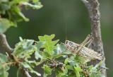 Europese Treksprinkhaan / Migratory Locust