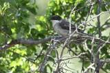Oostelijke Orpheusgrasmus / Eastern Orphean Warbler