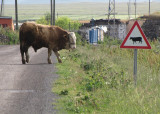 Pas op, koeien!