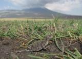 Reptiel spec. en Ararat