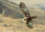 Bruine Kiekendief / Marsh Harrier